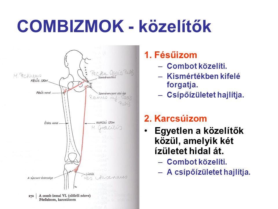 COMBIZMOK - közelítők 1. Fésűizom 2. Karcsúizom
