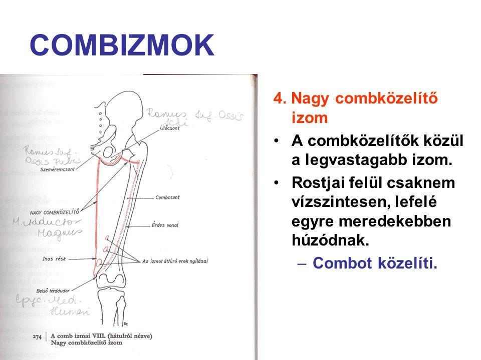 COMBIZMOK 4. Nagy combközelítő izom