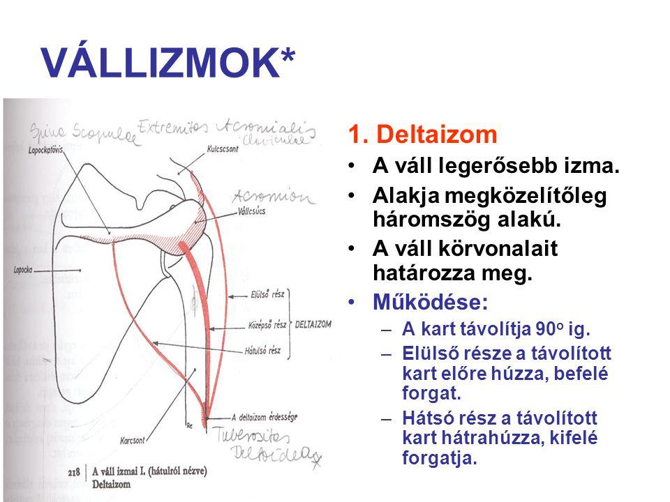 VÁLLIZMOK* 1. Deltaizom A váll legerősebb izma.