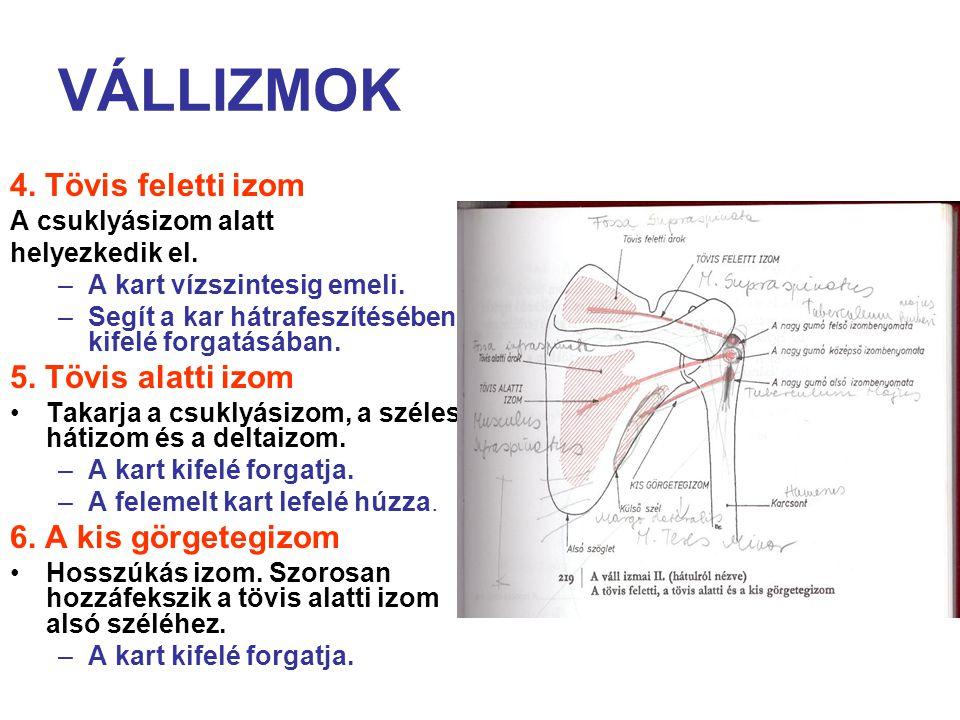 VÁLLIZMOK 4. Tövis feletti izom 5. Tövis alatti izom