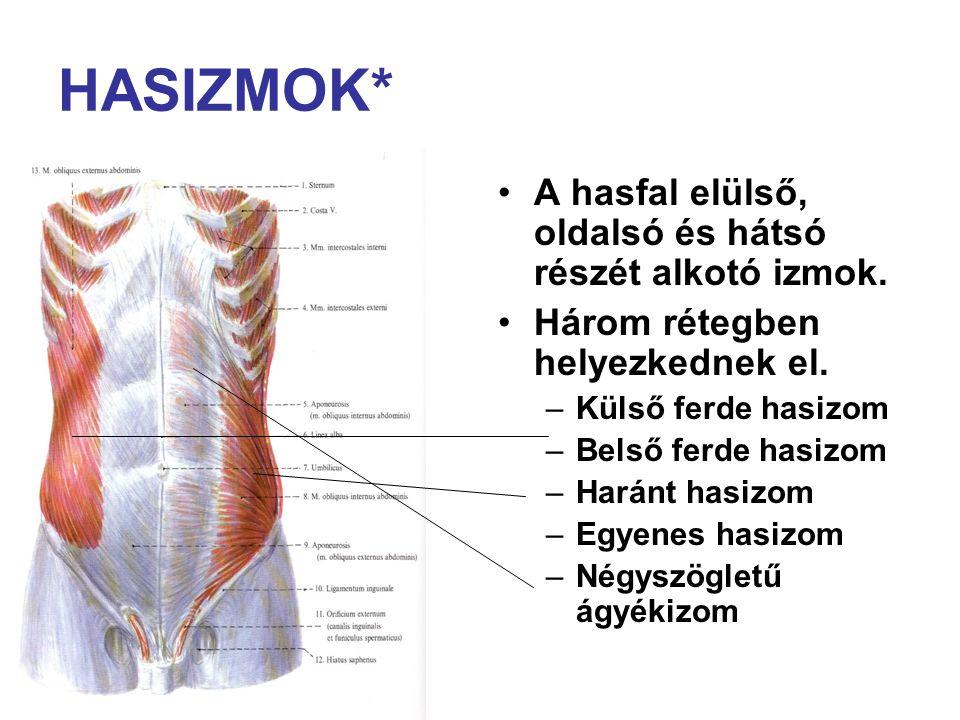 HASIZMOK* A hasfal elülső, oldalsó és hátsó részét alkotó izmok.