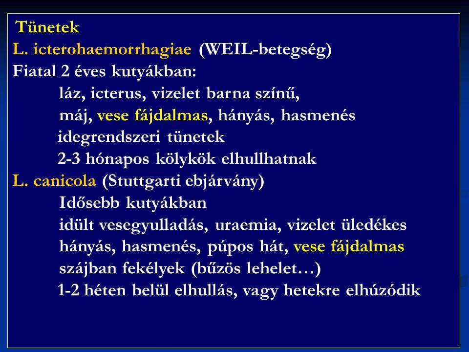 L. icterohaemorrhagiae (WEIL-betegség) Fiatal 2 éves kutyákban: