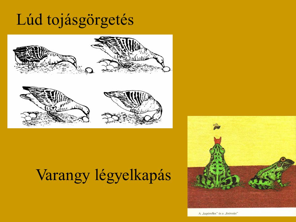 Lúd tojásgörgetés Varangy légyelkapás