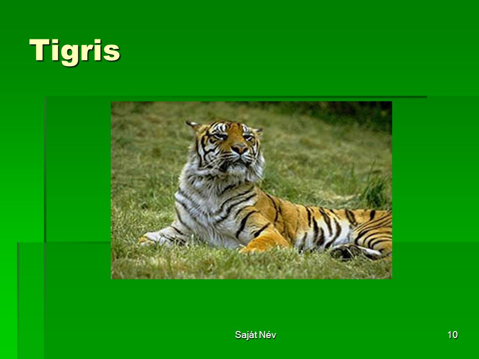 Tigris Saját Név