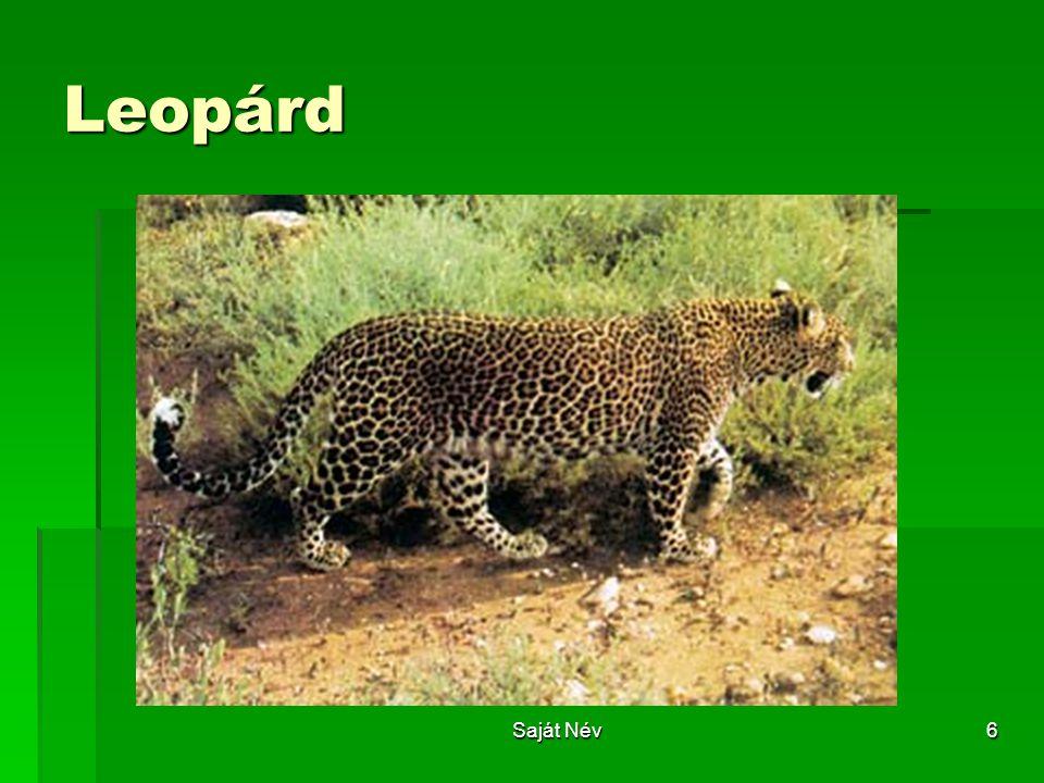Leopárd Saját Név