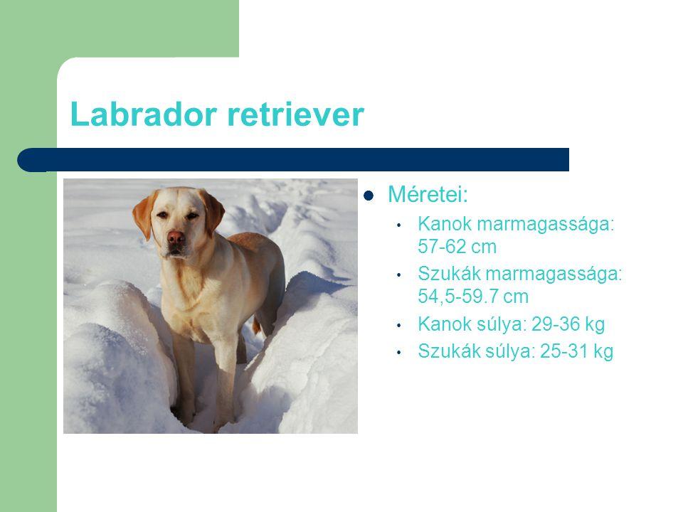 Labrador retriever Méretei: Kanok marmagassága: 57-62 cm