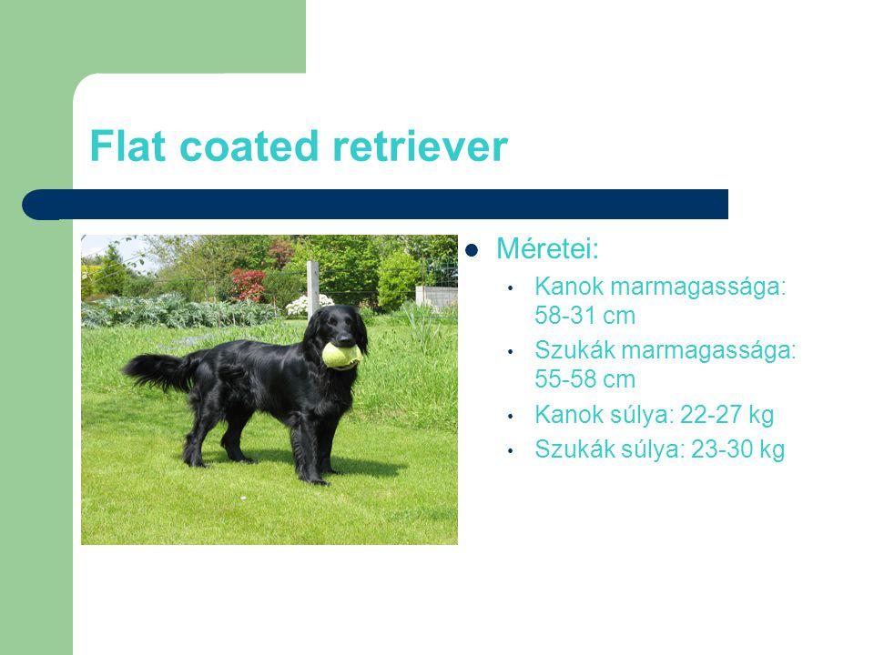 Flat coated retriever Méretei: Kanok marmagassága: 58-31 cm