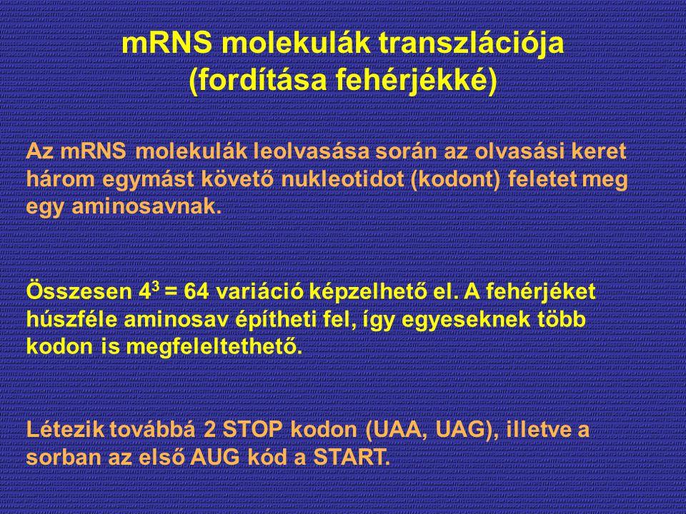 mRNS molekulák transzlációja (fordítása fehérjékké)