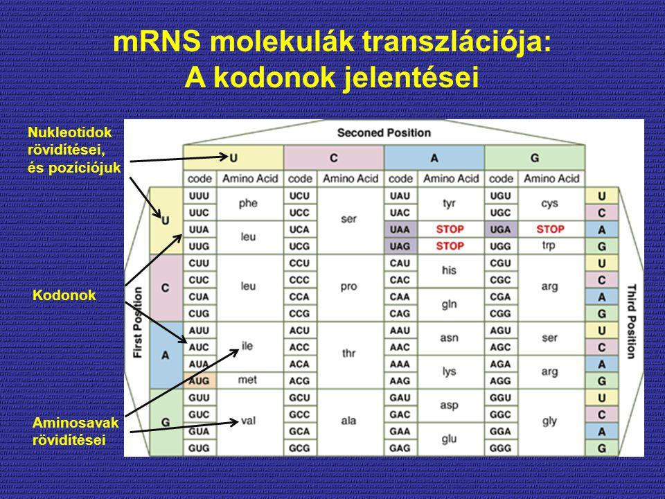 mRNS molekulák transzlációja: A kodonok jelentései