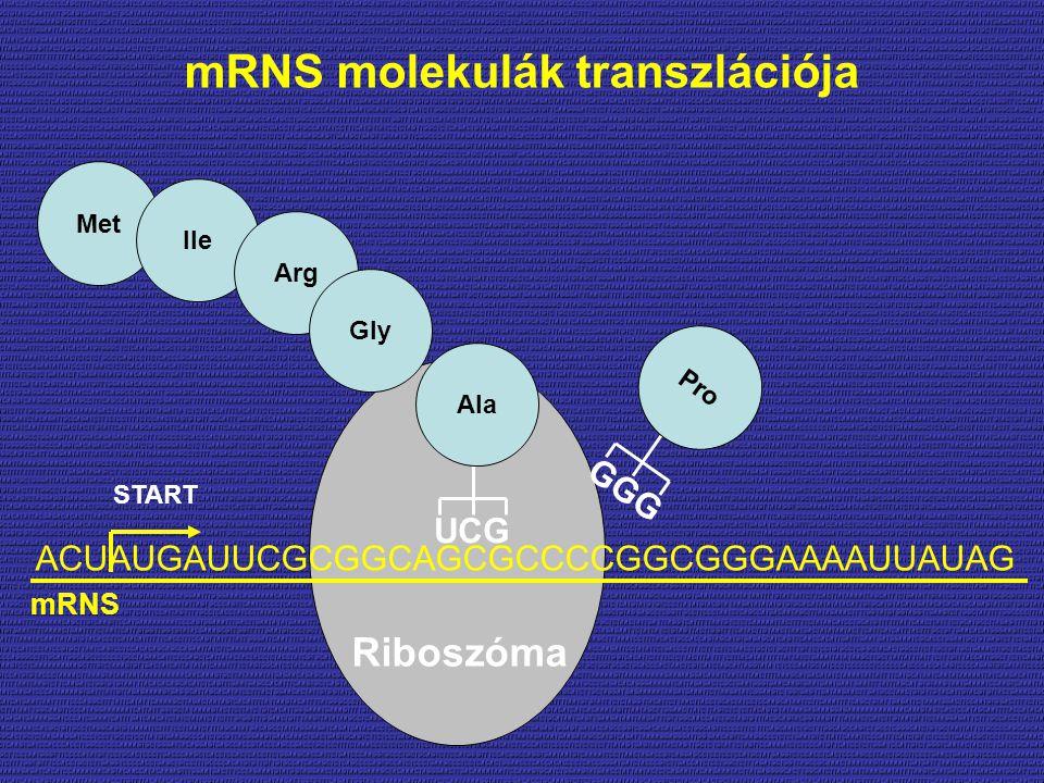 mRNS molekulák transzlációja