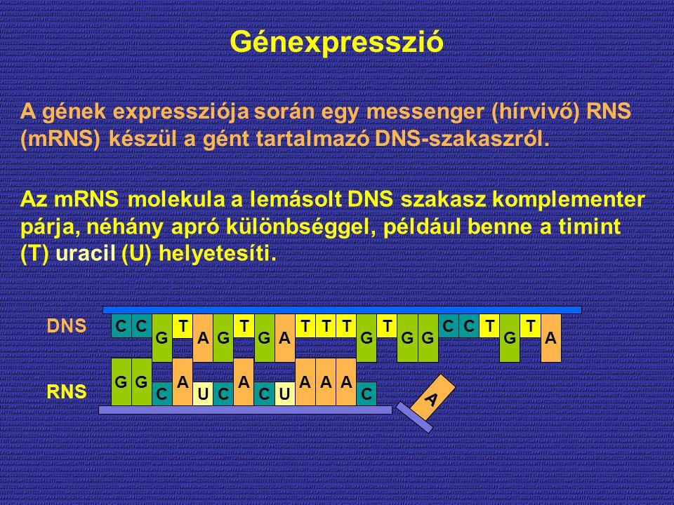 Génexpresszió A gének expressziója során egy messenger (hírvivő) RNS (mRNS) készül a gént tartalmazó DNS-szakaszról.