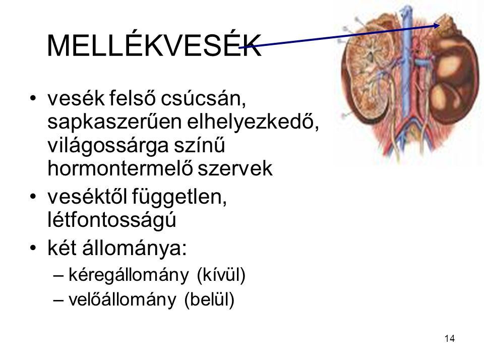 MELLÉKVESÉK vesék felső csúcsán, sapkaszerűen elhelyezkedő, világossárga színű hormontermelő szervek.