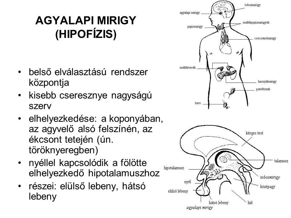 AGYALAPI MIRIGY (HIPOFÍZIS)
