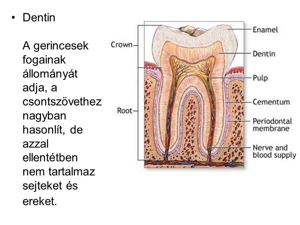 Dentin A gerincesek fogainak állományát adja, a csontszövethez nagyban hasonlít, de azzal ellentétben nem tartalmaz sejteket és ereket.
