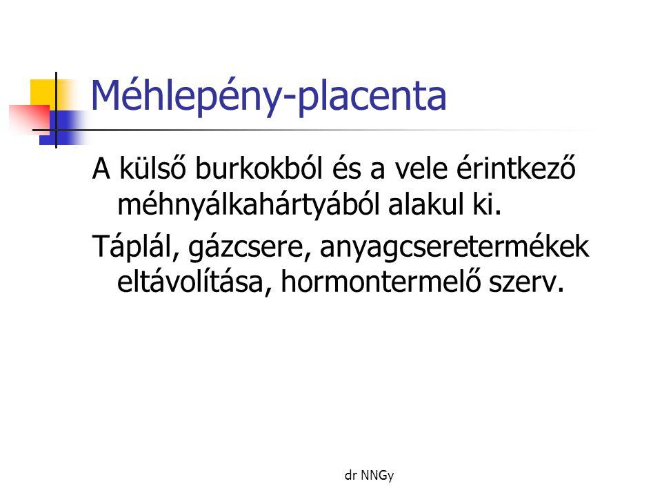 Méhlepény-placenta A külső burkokból és a vele érintkező méhnyálkahártyából alakul ki.
