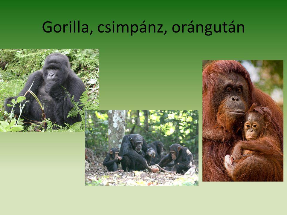 Gorilla, csimpánz, orángután