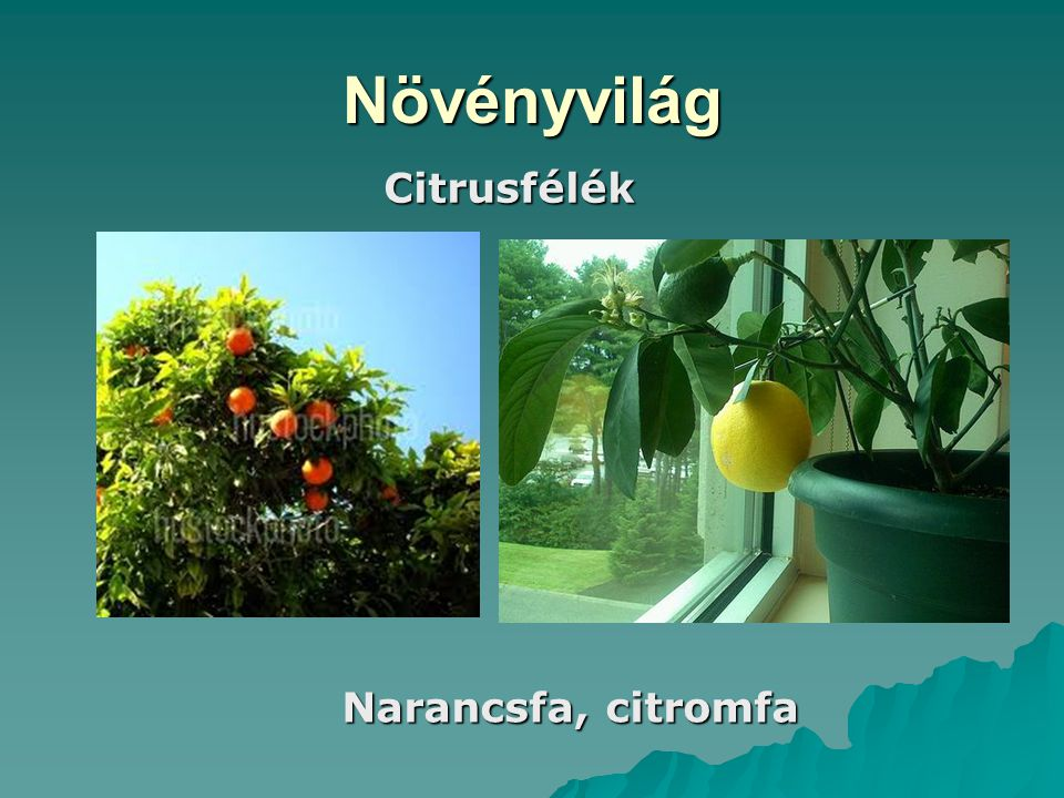 Növényvilág Citrusfélék Narancsfa, citromfa