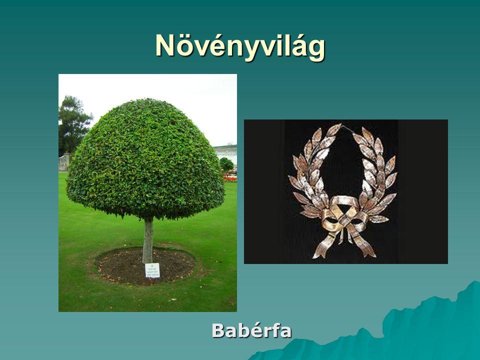 Növényvilág Babérfa