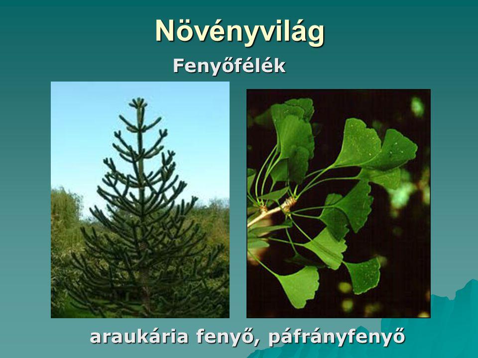 Növényvilág Fenyőfélék araukária fenyő, páfrányfenyő