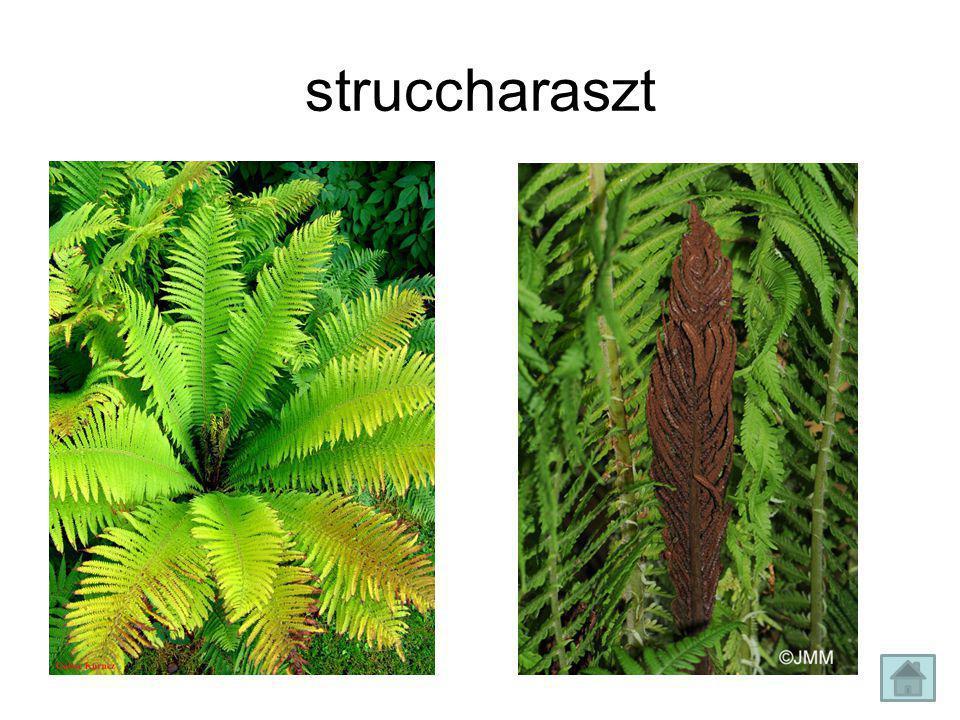 struccharaszt