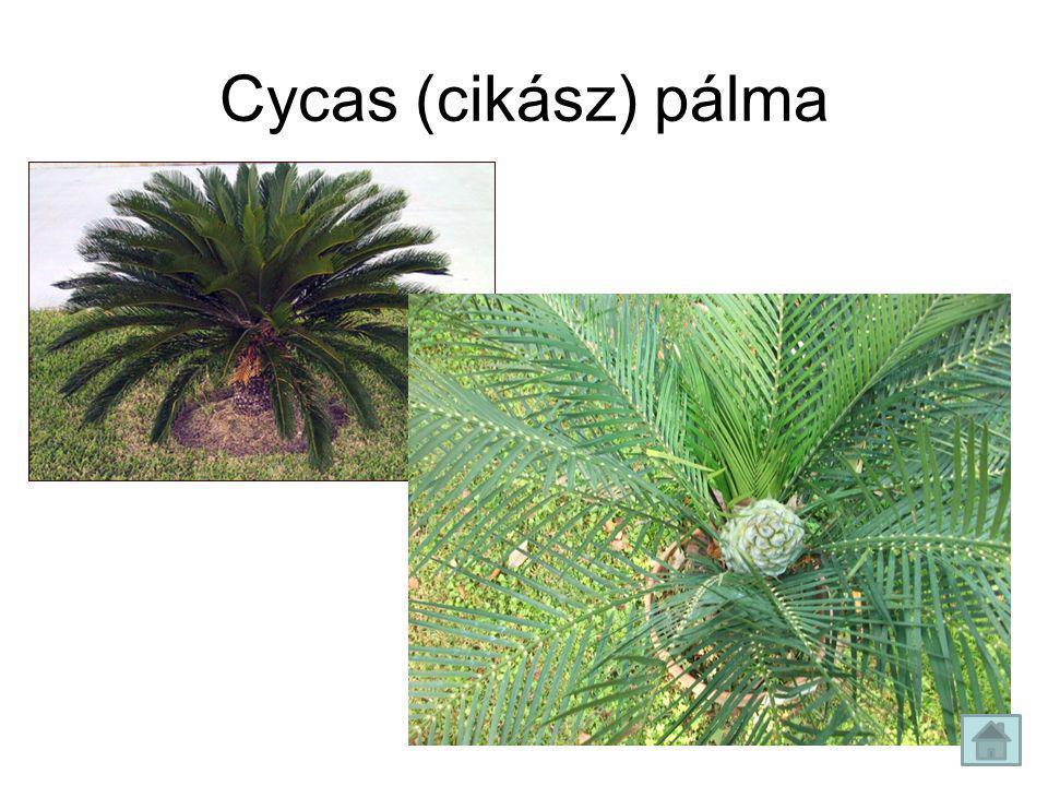 Cycas (cikász) pálma