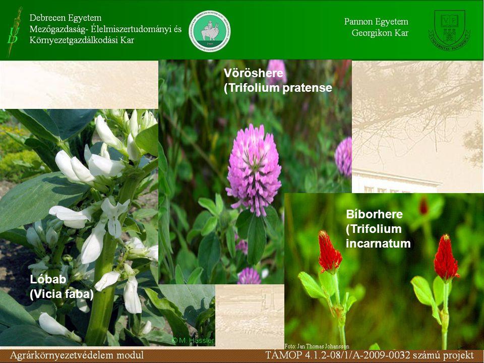 Vöröshere (Trifolium pratense Bíborhere (Trifolium incarnatum) Lóbab (Vicia faba)