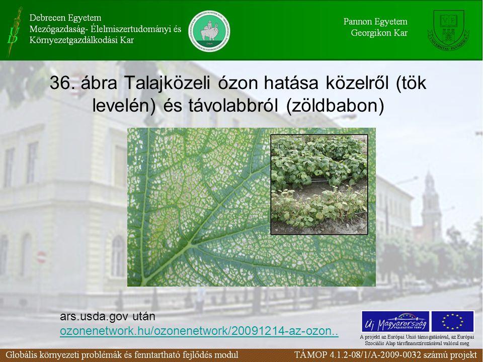 36. ábra Talajközeli ózon hatása közelről (tök levelén) és távolabbról (zöldbabon)