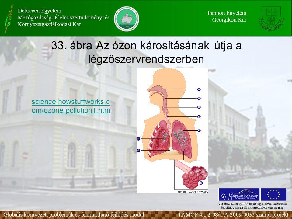 33. ábra Az ózon károsításának útja a légzőszervrendszerben