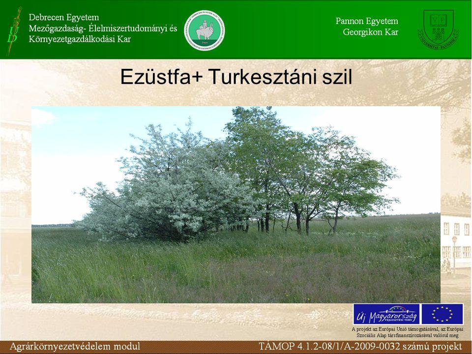 Ezüstfa+ Turkesztáni szil
