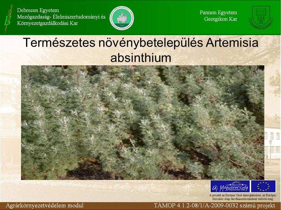 Természetes növénybetelepülés Artemisia absinthium