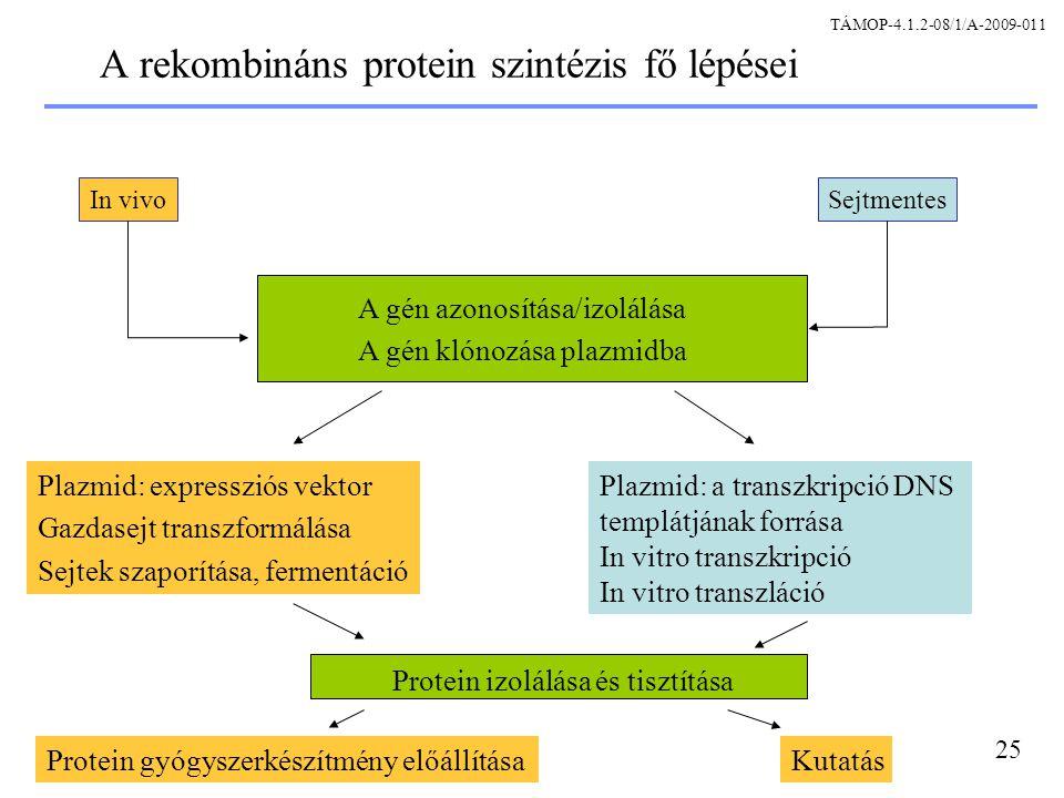 A rekombináns protein szintézis fő lépései
