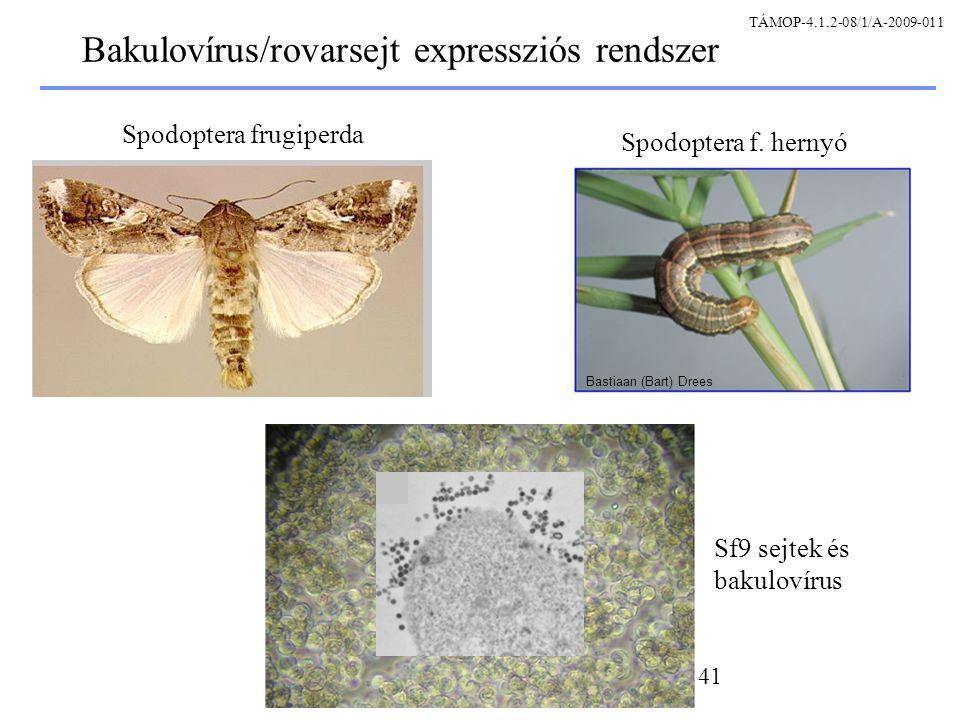 Bakulovírus/rovarsejt expressziós rendszer
