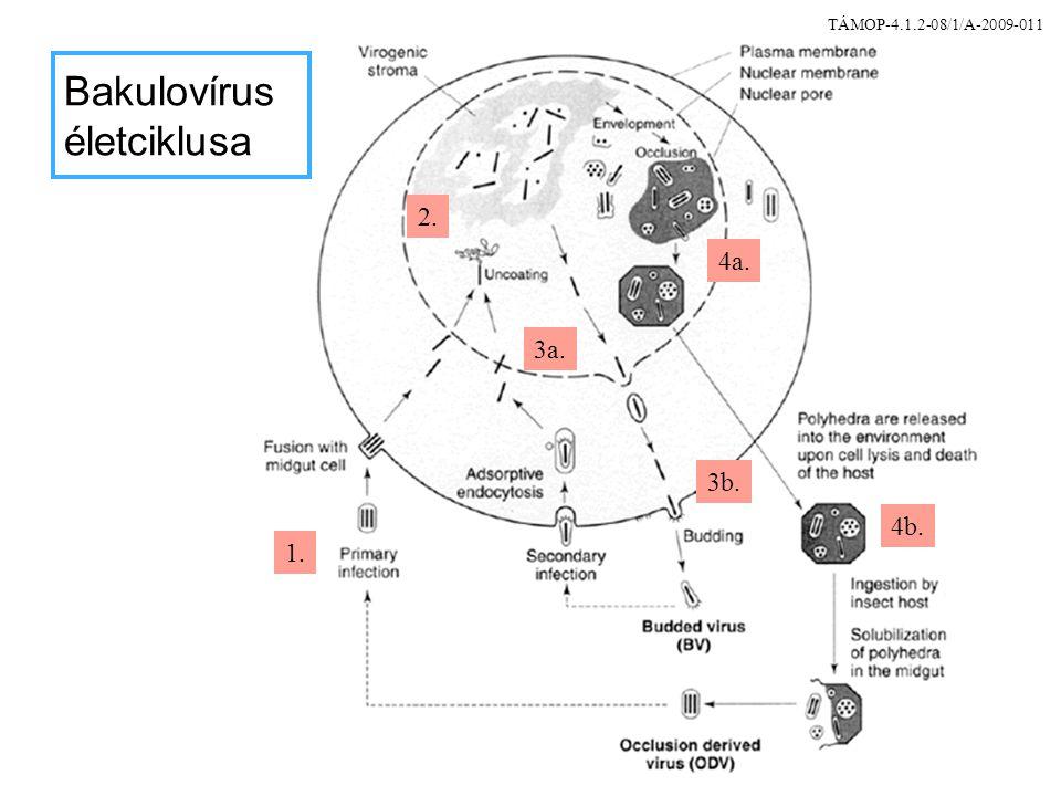 Bakulovírus életciklusa