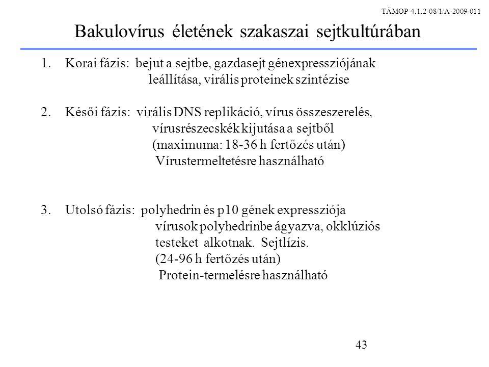 Bakulovírus életének szakaszai sejtkultúrában