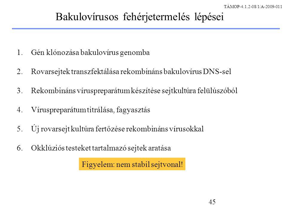 Bakulovírusos fehérjetermelés lépései