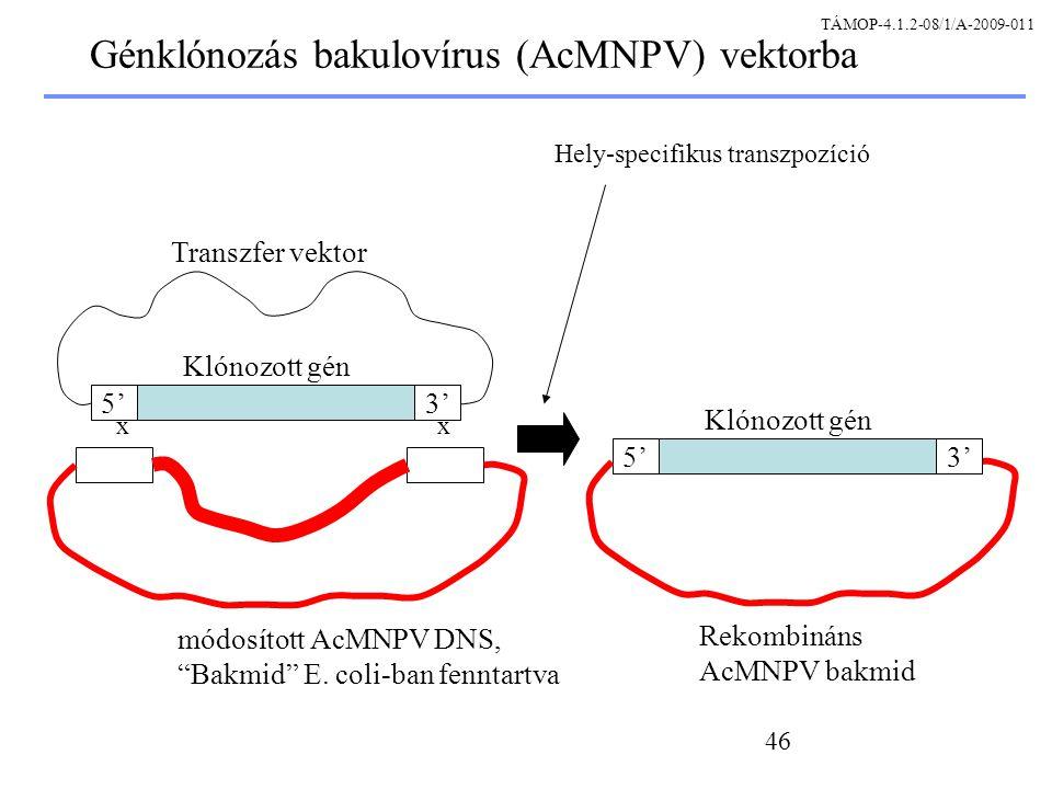 Génklónozás bakulovírus (AcMNPV) vektorba