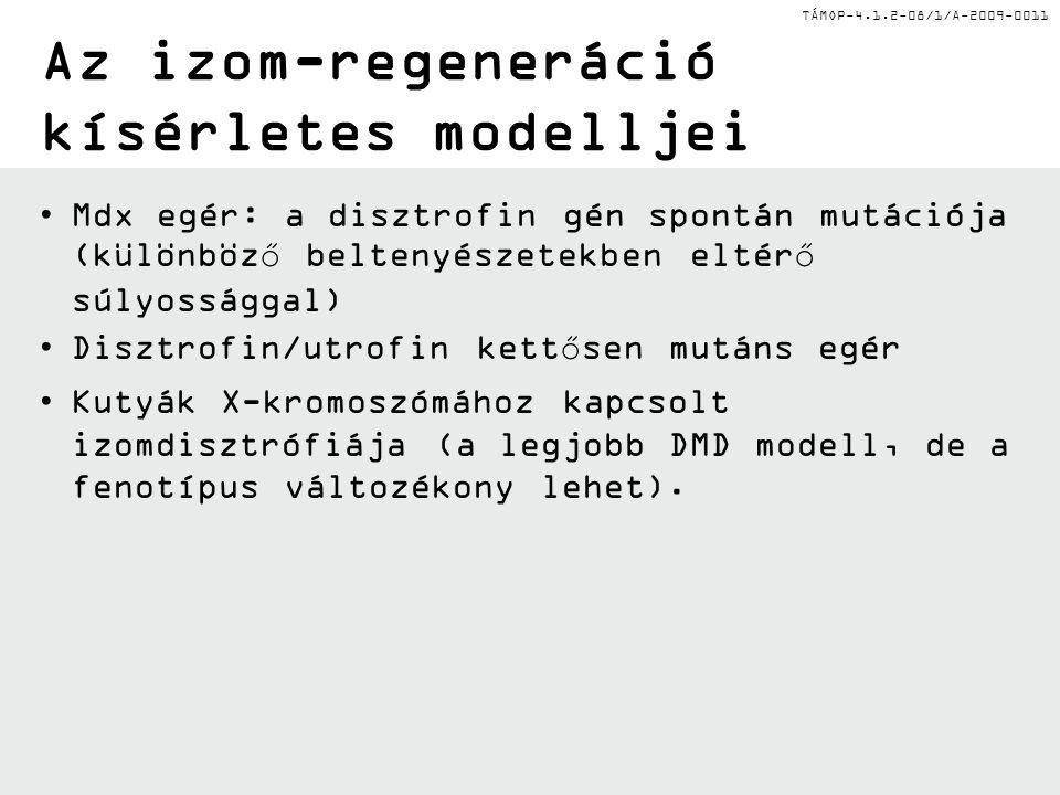 Az izom-regeneráció kísérletes modelljei