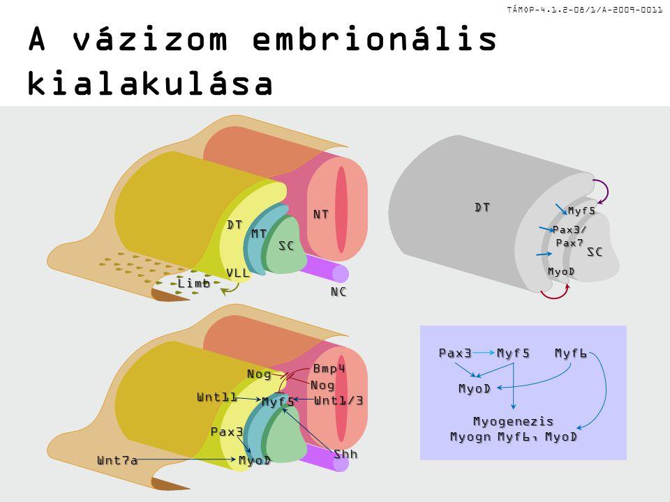 A vázizom embrionális kialakulása