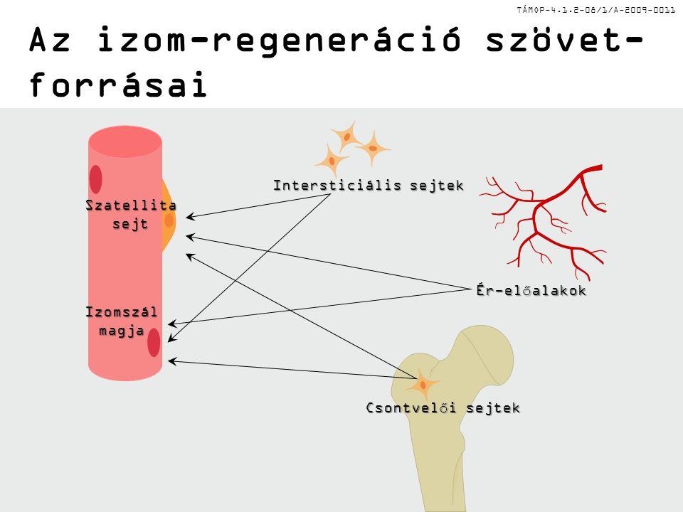 Az izom-regeneráció szövet-forrásai