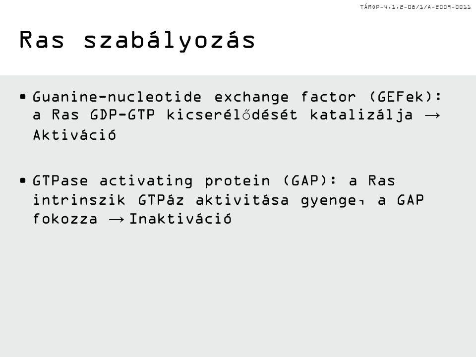Ras szabályozás Guanine-nucleotide exchange factor (GEFek): a Ras GDP-GTP kicserélődését katalizálja → Aktiváció.