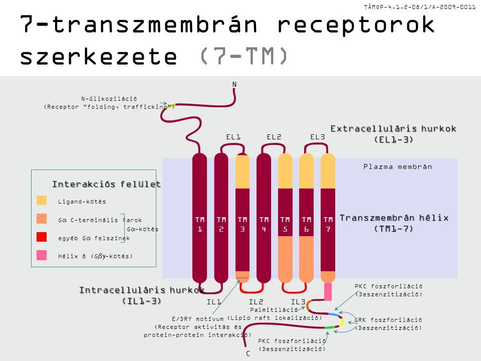 7-transzmembrán receptorok szerkezete (7-TM)