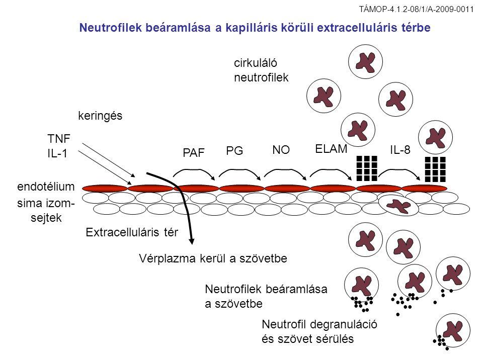 Vérplazma kerül a szövetbe PAF PG NO ELAM IL-8 ■■■