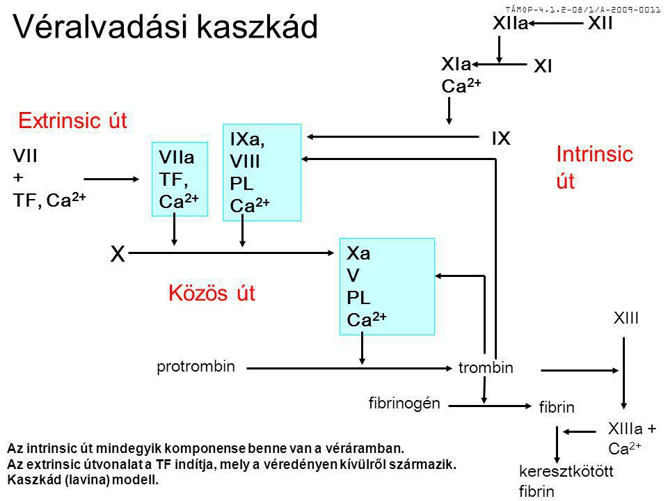 Véralvadási kaszkád Extrinsic út Intrinsic út X Közös út XIIa XII XIa