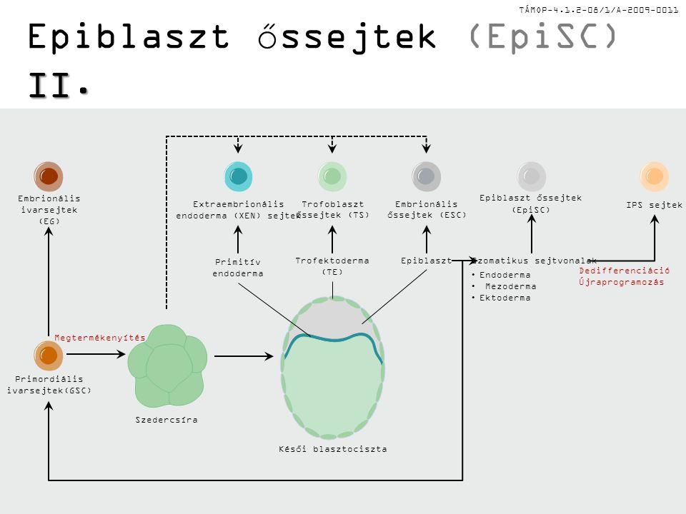 Epiblaszt őssejtek (EpiSC) II.