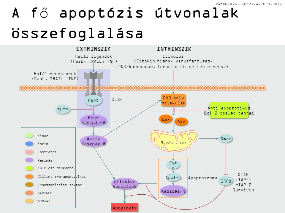 A fő apoptózis útvonalak összefoglalása