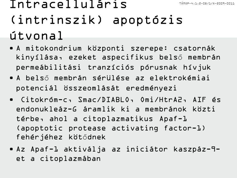 Intracelluláris (intrinszik) apoptózis útvonal
