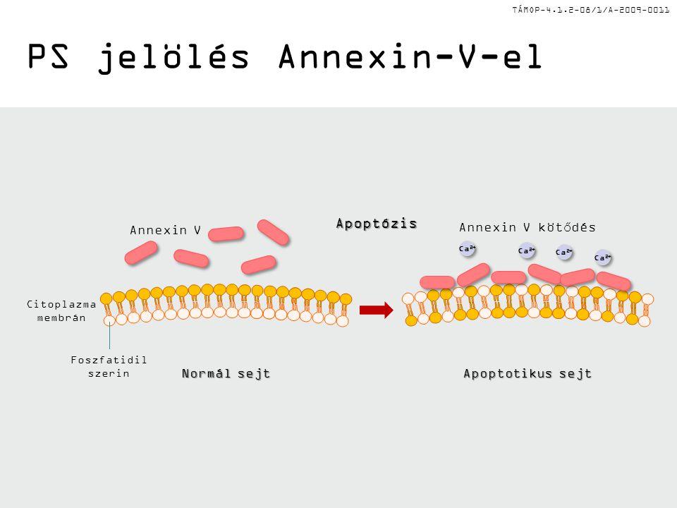 PS jelölés Annexin-V-el