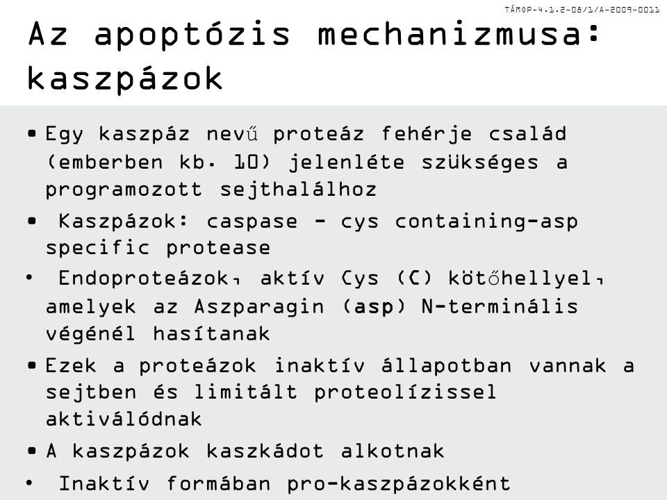 Az apoptózis mechanizmusa: kaszpázok