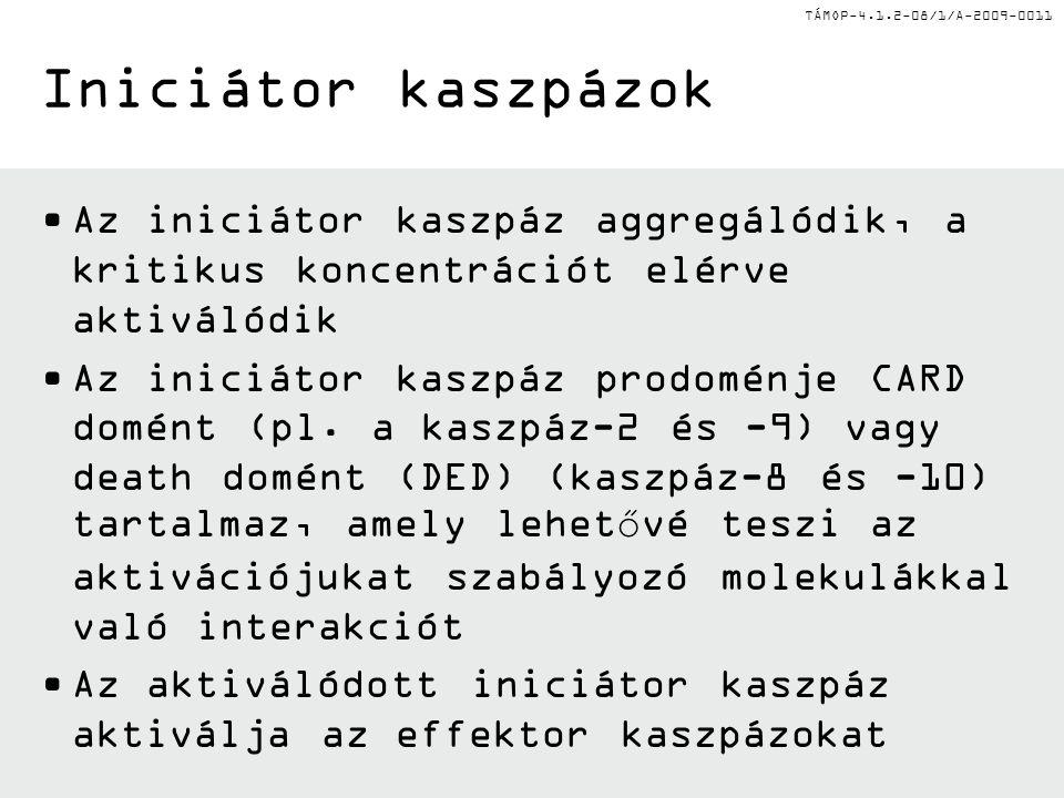 Iniciátor kaszpázok Az iniciátor kaszpáz aggregálódik, a kritikus koncentrációt elérve aktiválódik.