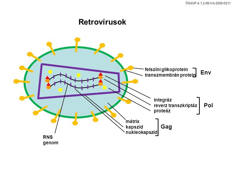 Retrovírusok Env Pol Gag felszíni glikoprotein transzmembrán protein